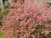 japankirschbaum-036