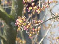 japkirschbaum013