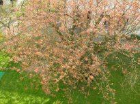 japkirschbaum020
