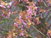 japkirschbaum021