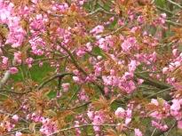japkirschbaum025
