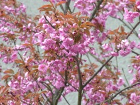 japkirschbaum038