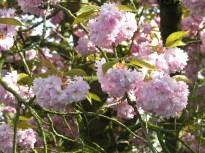 japkirschbaum057