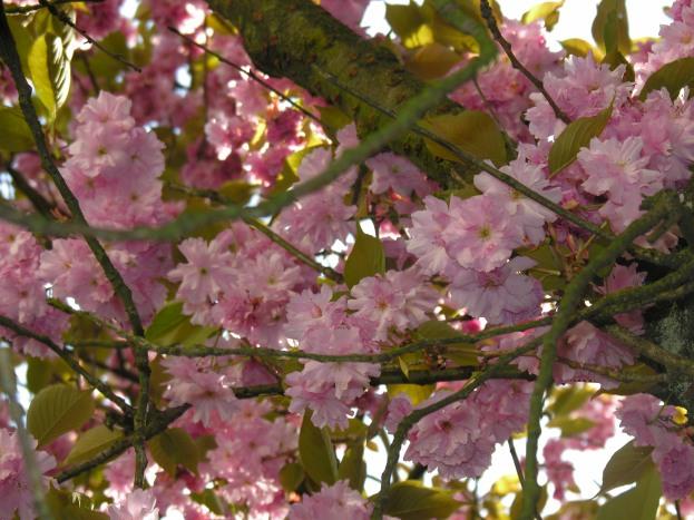 japkirschbaum065