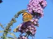 Schmetterlinge 016