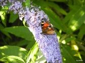 Schmetterlinge 042