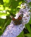 Schmetterlinge 050
