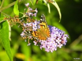 Schmetterlinge 062