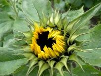 Sonnenblumenknospe