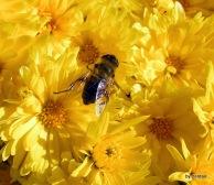 Biene auf gelber Aster