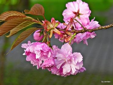 Japan.Kirschbaum 046