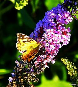 Schmetterlinge 097