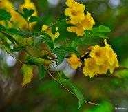 Hummeel in gelber Blüte