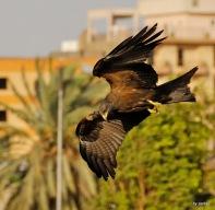 Schwarz Milan im Hafen von Luxor