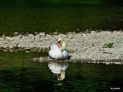 Schwan spiegelt sich im Wasser