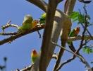 kleine Papageien