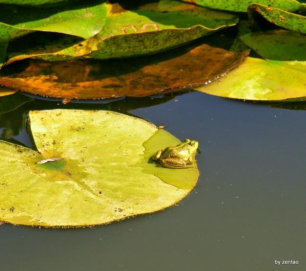 Der Frosch auf dem Seerosenblatt