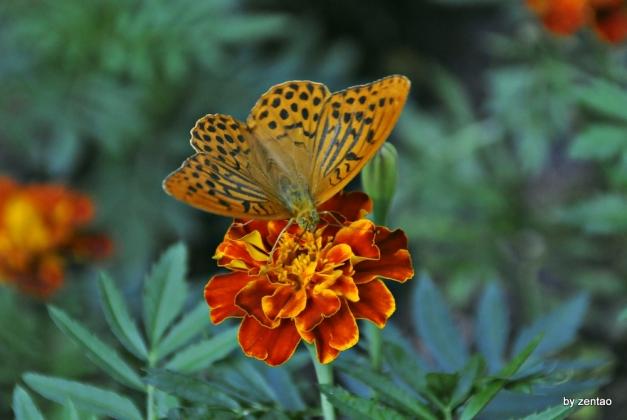 Schmetterling auf rot-gelber Tagetes