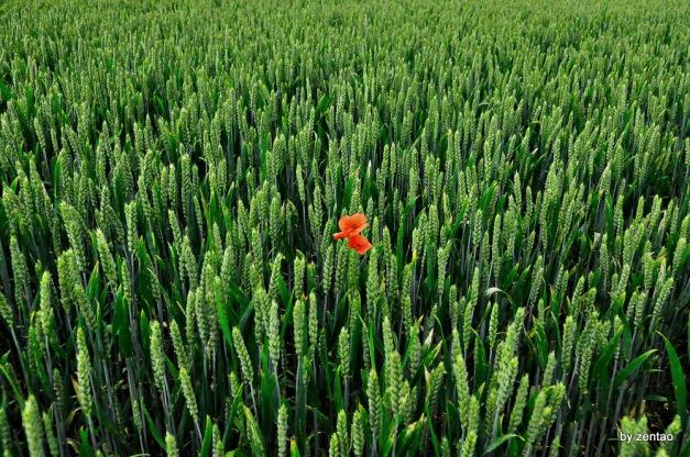 einsame Mohnblume inmmitten eines grünen Roggenfeld