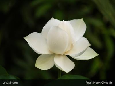 weisse Lotusblume