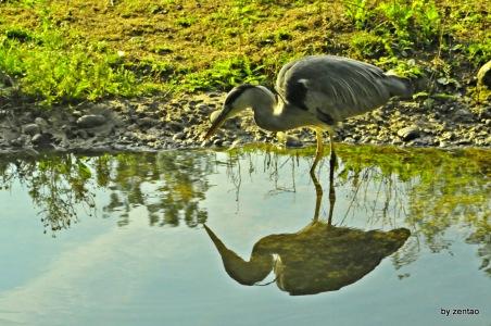 Graureiher Spiegelt sich im Teich