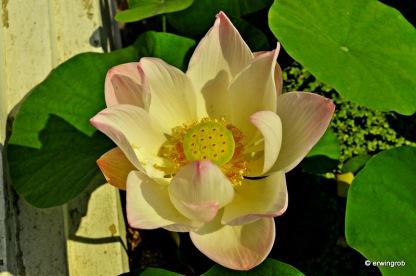 Lotusblüten-Makro