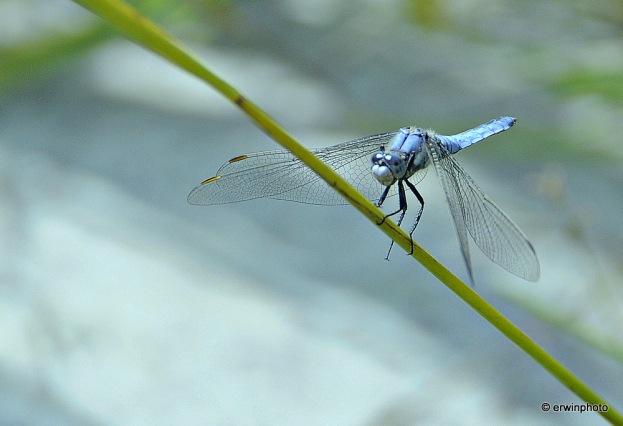 blaue Libelle