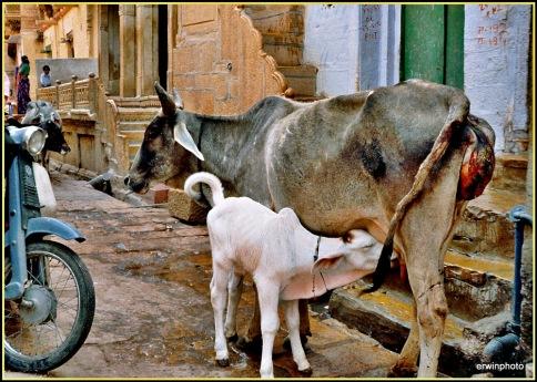 neugeborenes Kalb in den Strassen von Delhi - Indien1998