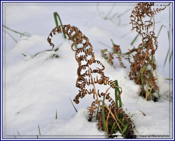 verwelktes Farnkraut im Schnee