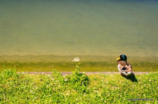 Blume und die Ente