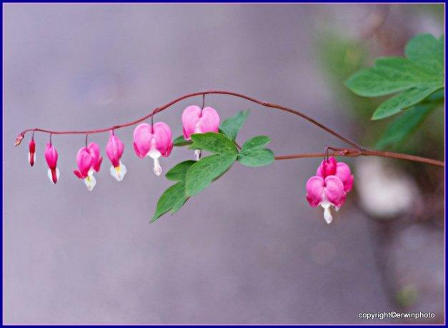 Die Herzblume ein Symbol der Liebe