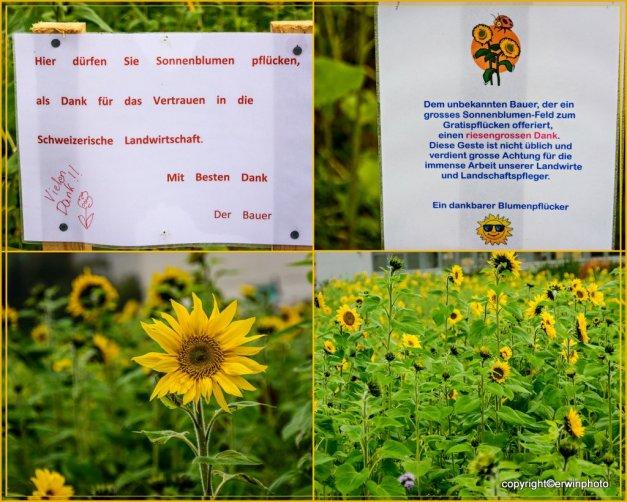 Gratis-Sonnenblumen