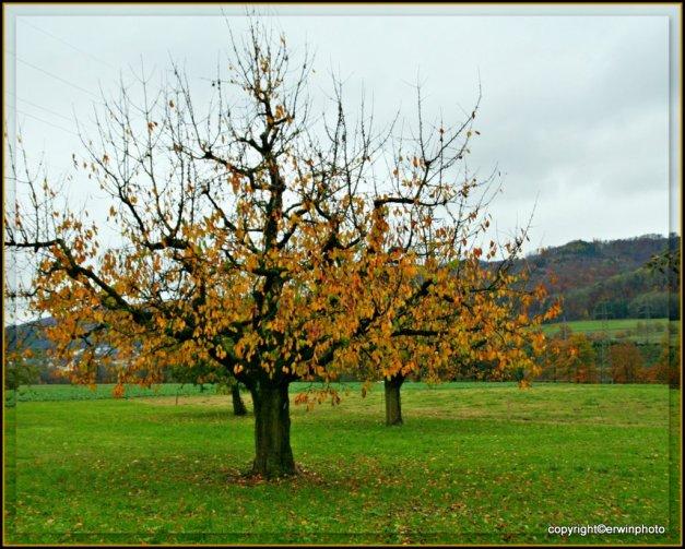 Apfelbäumchen  im Herbstkleid