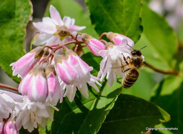 Biene und die Kieschblüte
