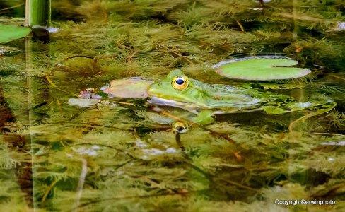 Fröschchen im Teich