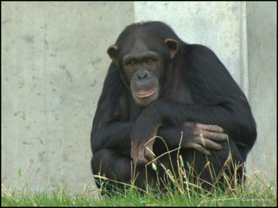 lächelnder Schimpanse