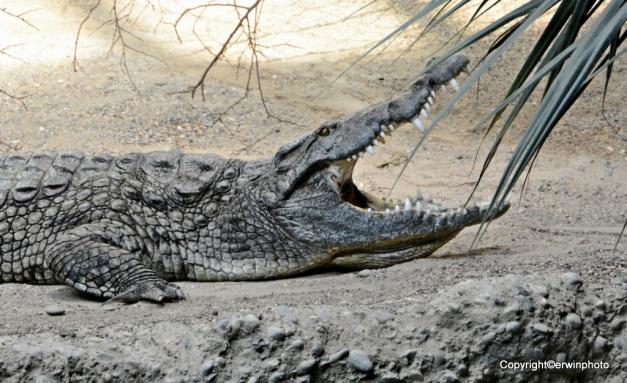 Krokodiel