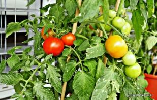 und Tomaten