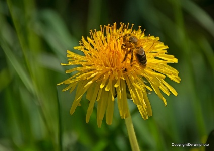 Biene auf einem Löwenzahn