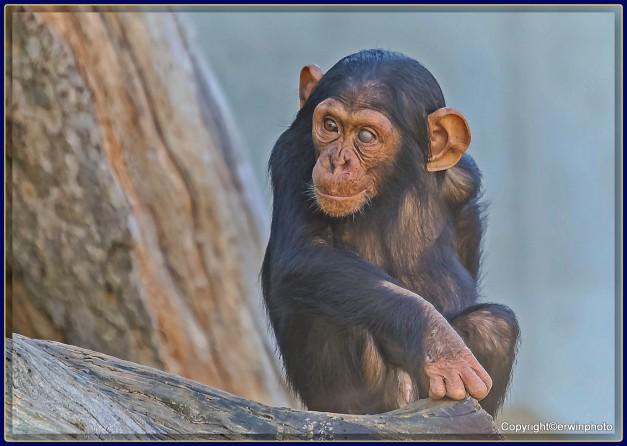 kleiner Schimpanse auf einem Auge blind