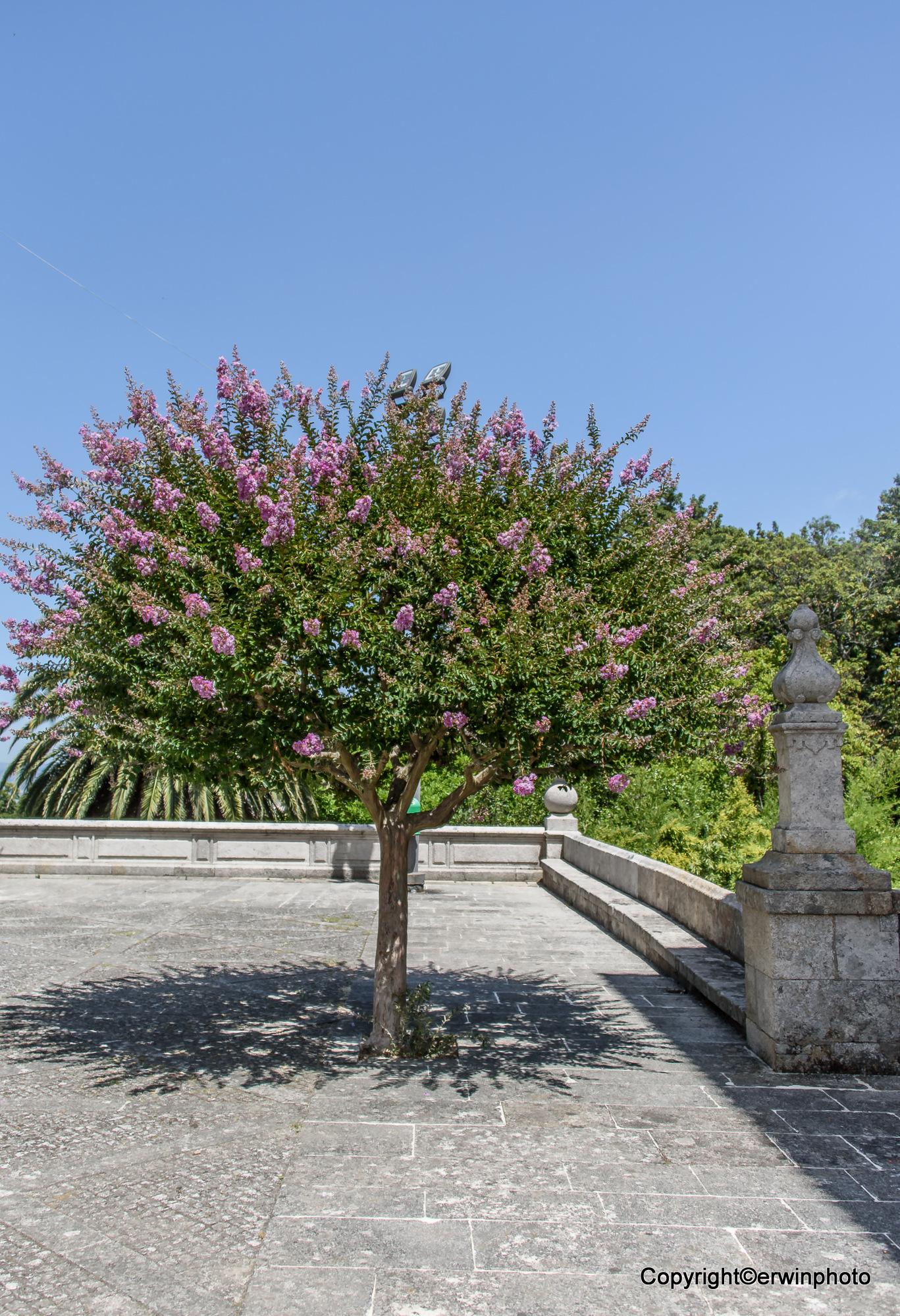kleiner blühender Baum vor der Kirche