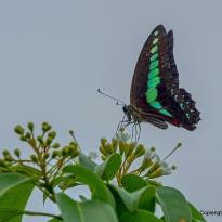 Schwarz grüner Schmetterling auf dem Peak fotografiert
