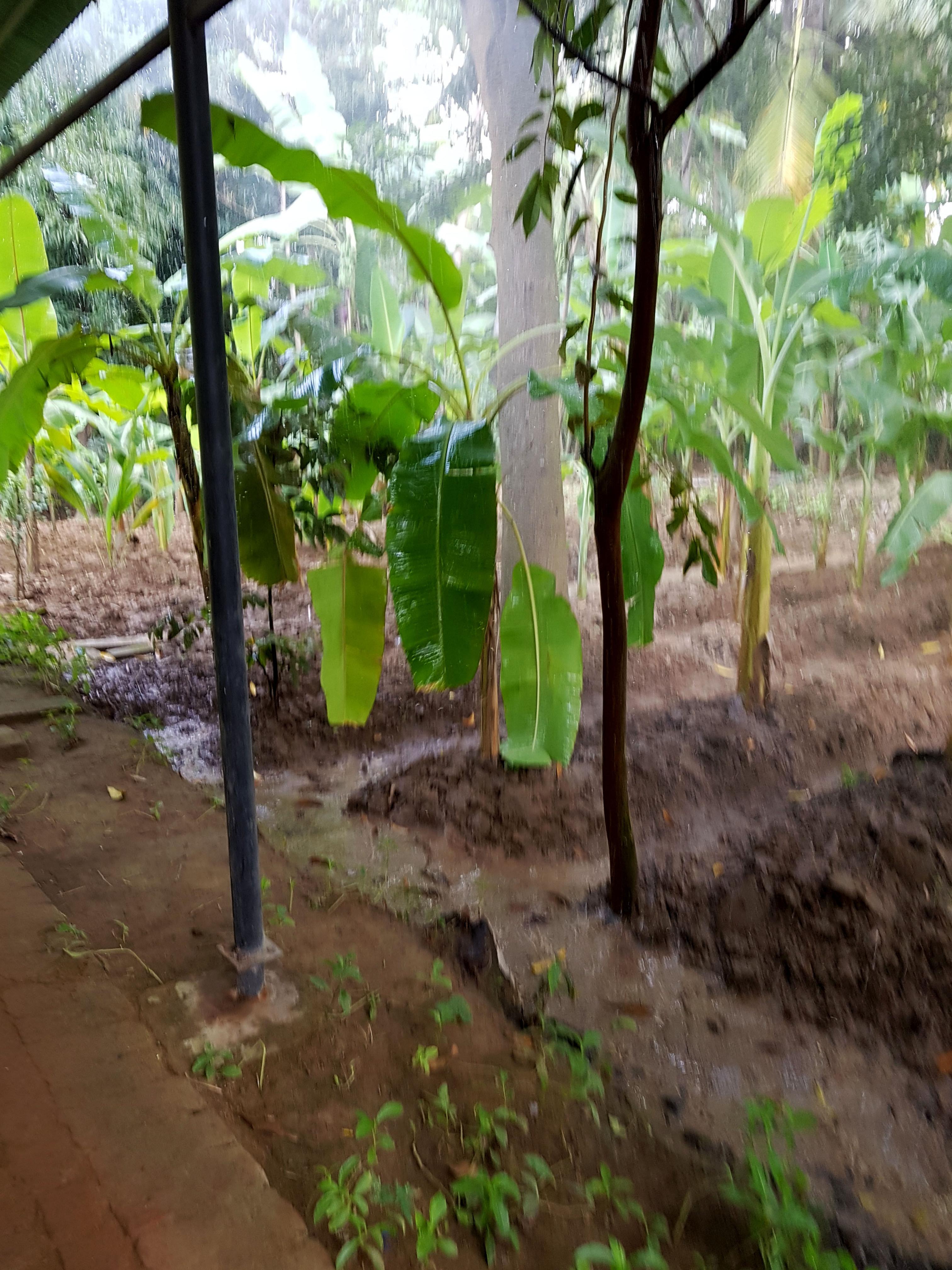 in der Bananenplantage