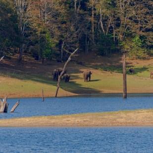 Indische Waldelefanten