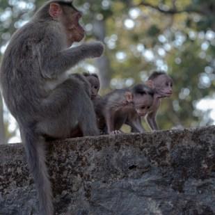 Affenmutter mit ihren Jungen
