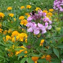 Biene auf Lila