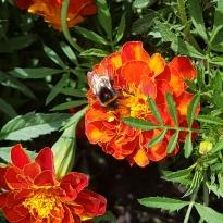 mit Biene