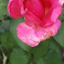 Rose aus dem Rosengarten
